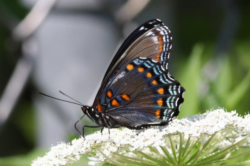 Orange spotted purple butterfly