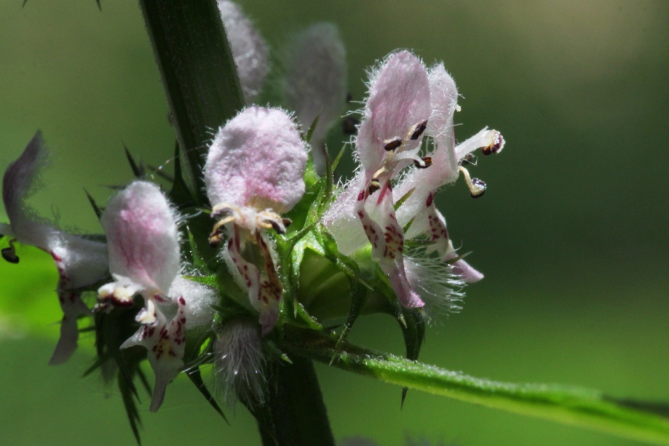 Motherwort at 100 mm