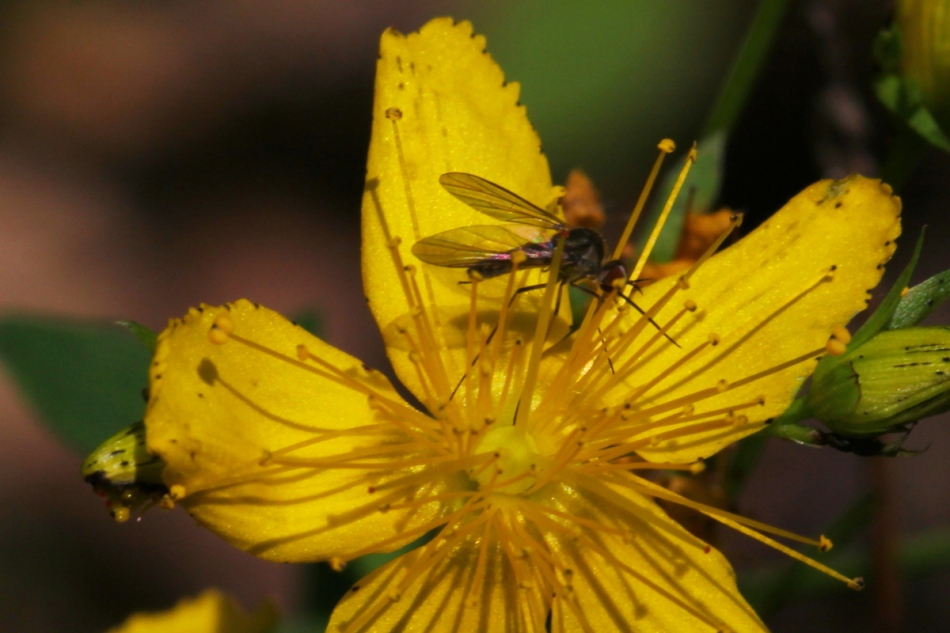 Male mosquito on St. John's wort