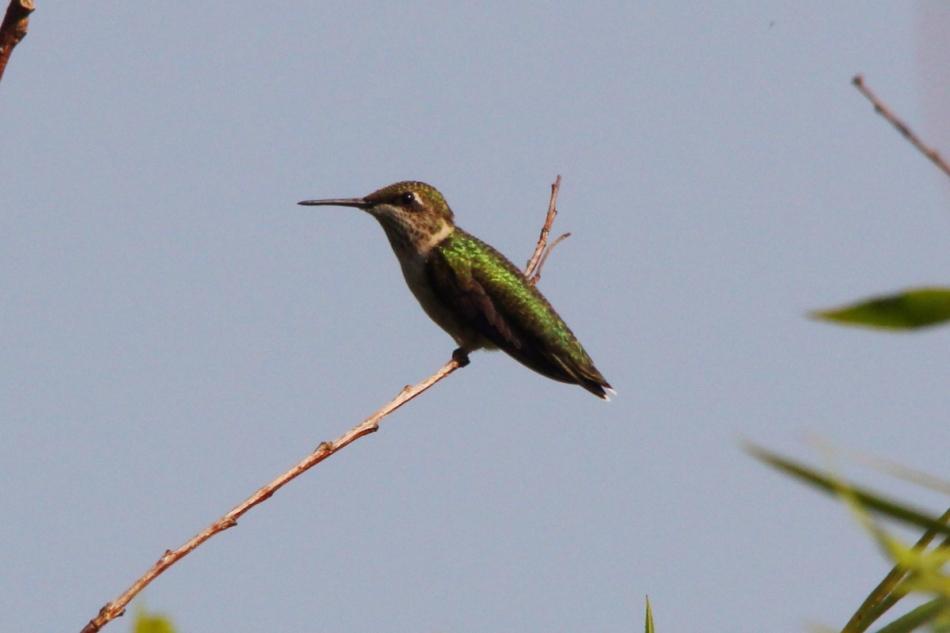 Female or juvenile Ruby-throated hummingbird