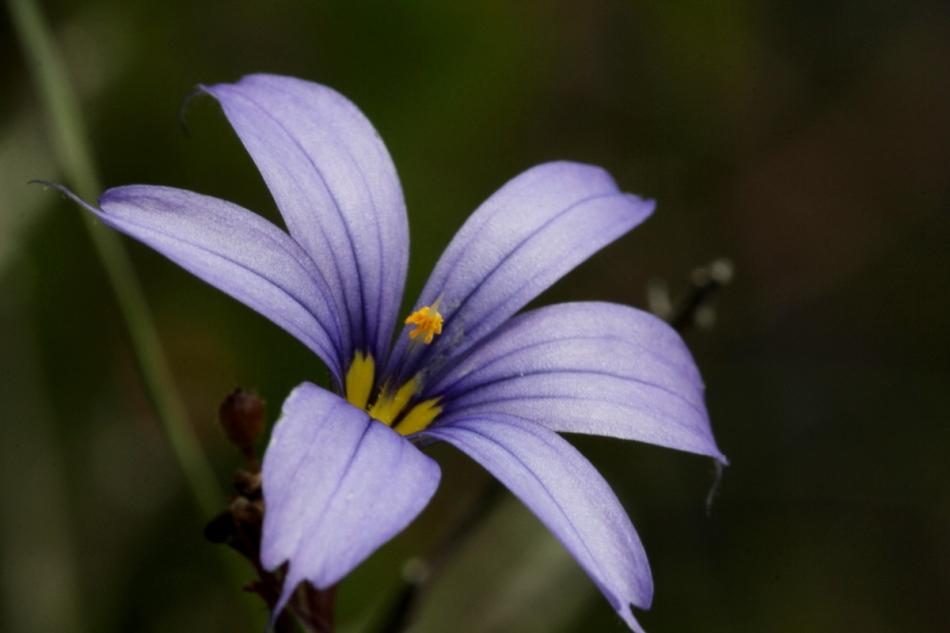 Atlantic blue-eyed grass