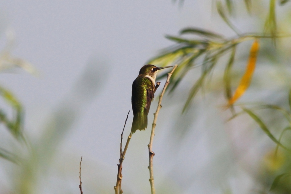 Female or juvenile Ruby-throated hummingbird