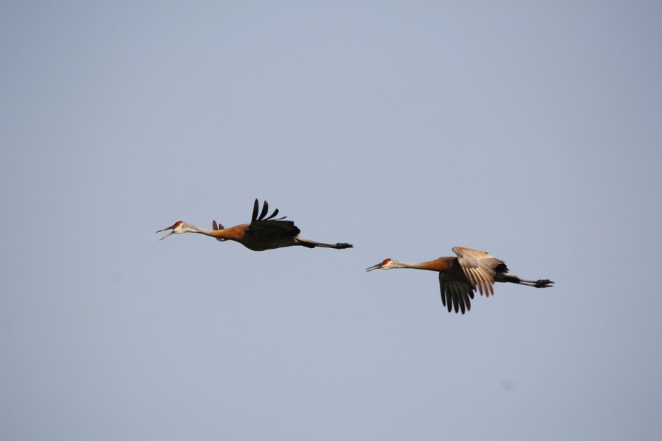 Sandhill cranes in flight, not cropped