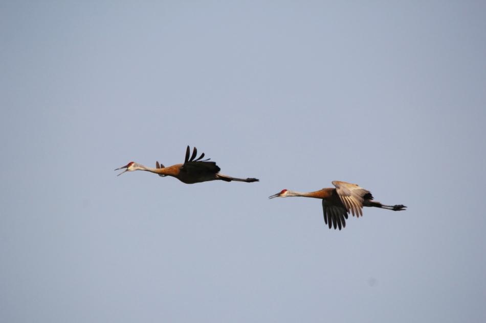 Sandhill cranes in flight, not cropped