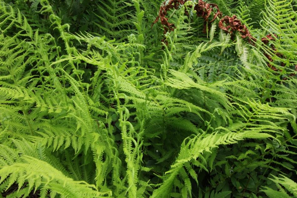 Unidentified lacy ferns