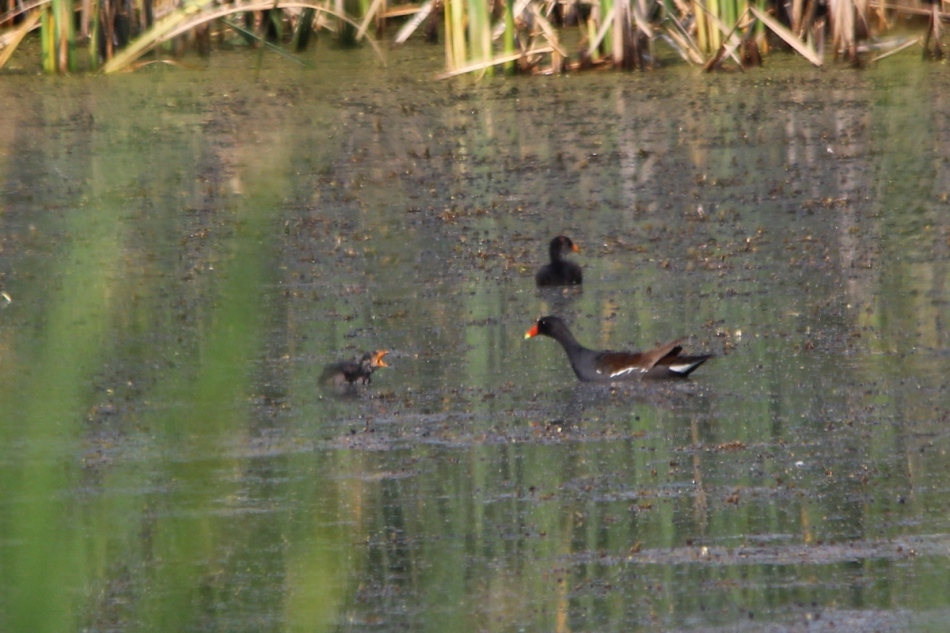 Common Gallinule and young