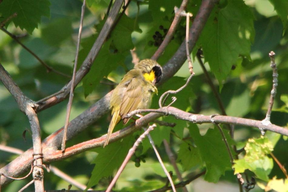 Male common yellowthroat preening