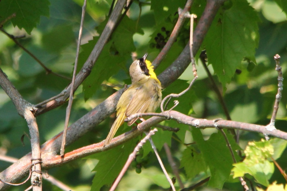 Male common yellowthroat singing