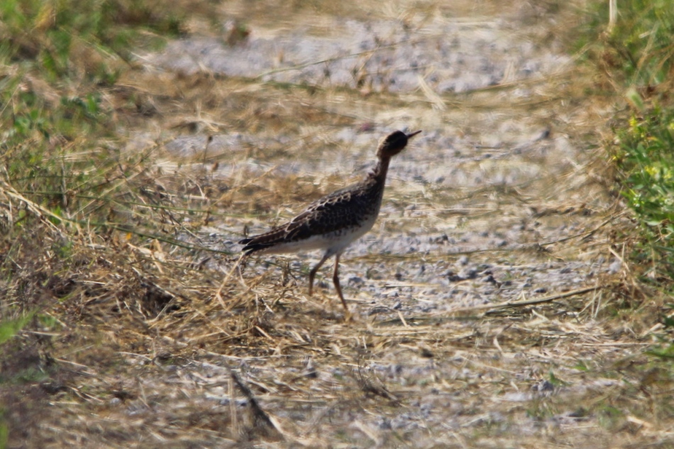 Upland sandpiper through the heatwaves