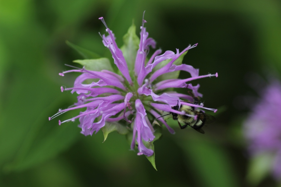 Bee balm with requisite bee