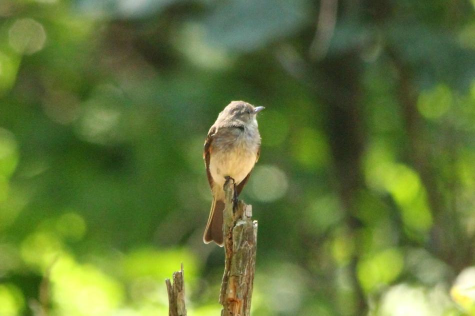 Unidentified flycatcher