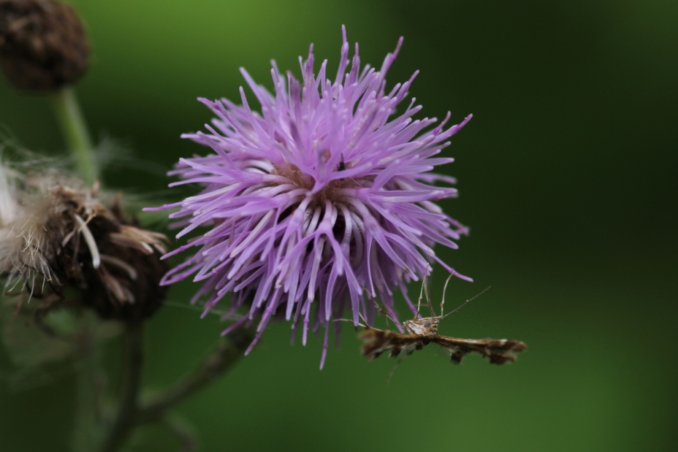 Canada thistle and moth