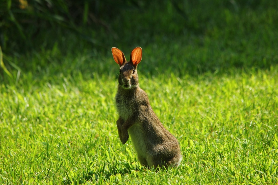 Cottontail rabbit
