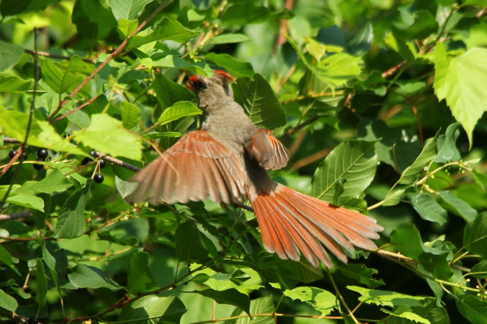 Female northern cardinal in flight