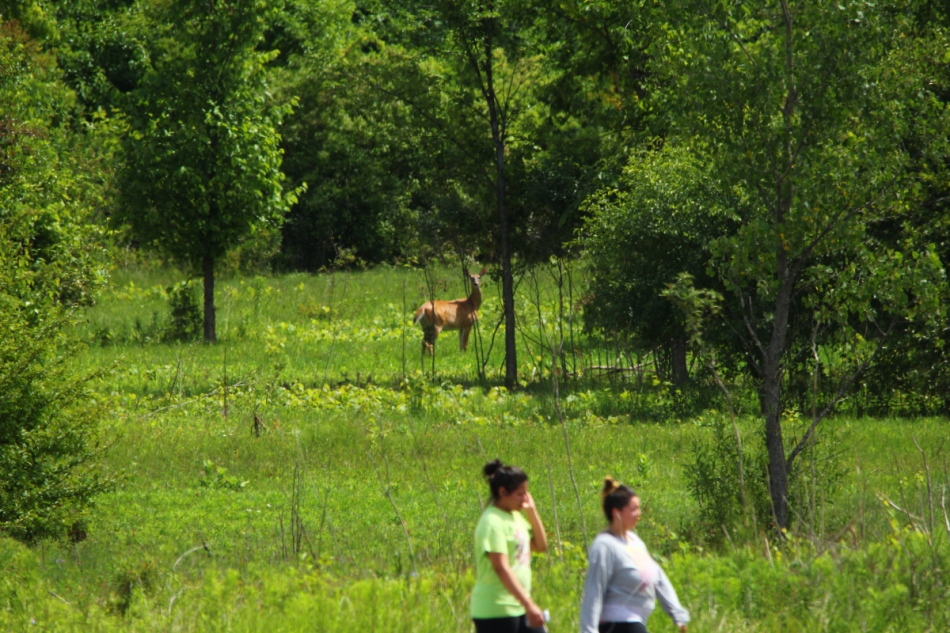 Whitetail doe watch two oblivious women walking past
