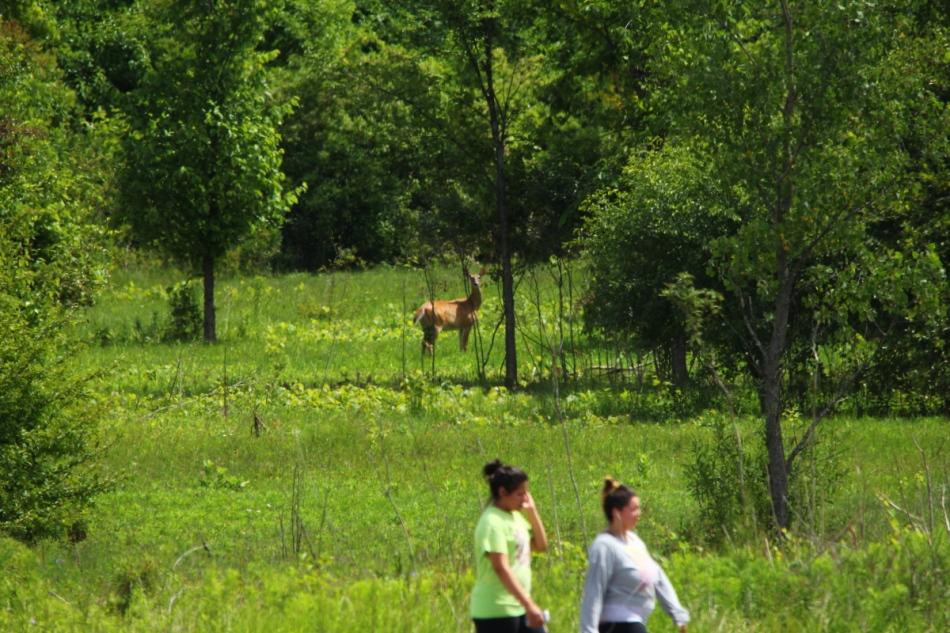 Whitetail doe watch two oblivious women walking past