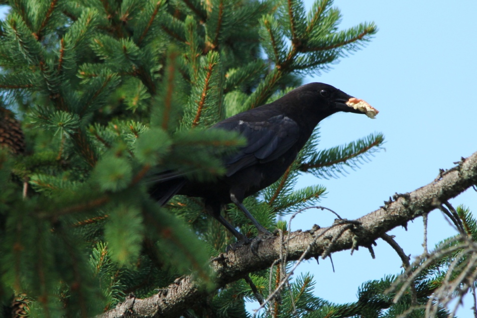 American crow eating unidentified bread