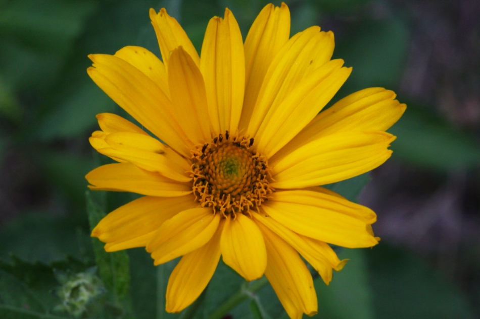 Unidentified yellow flower shot with daylight white balance