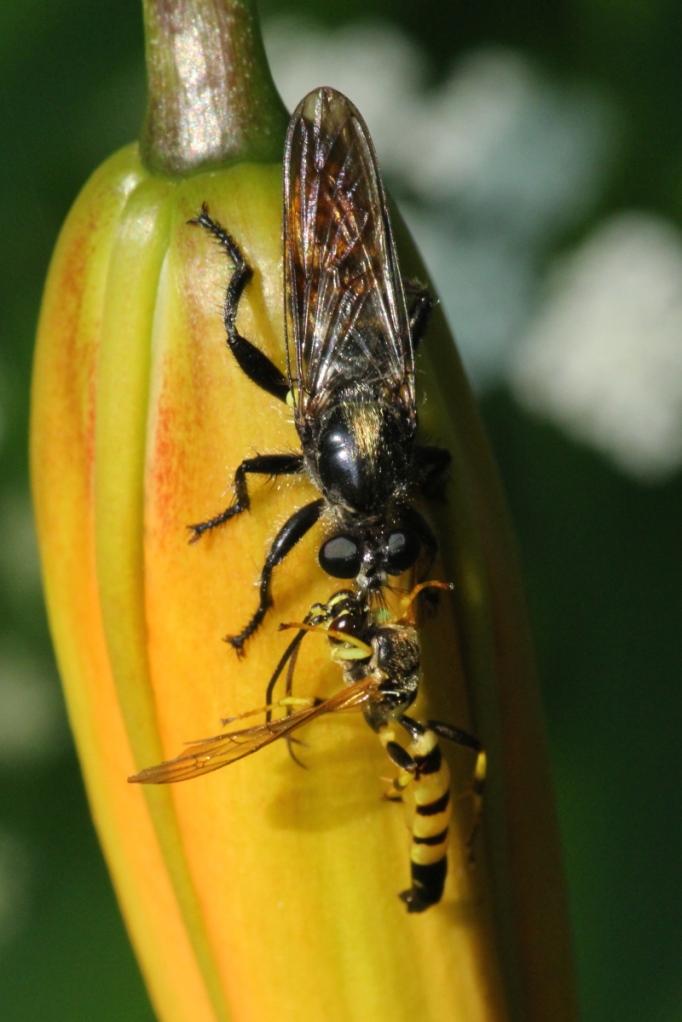 Wasp vs wasp