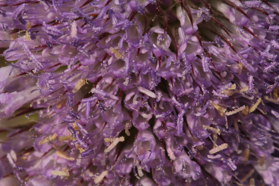 Teasel flowers