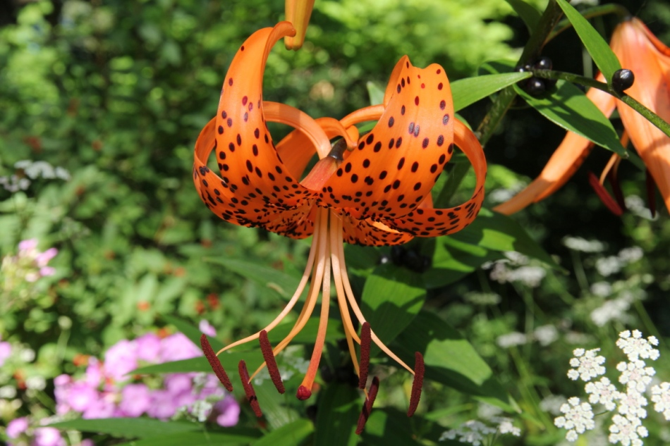 Michigan lily