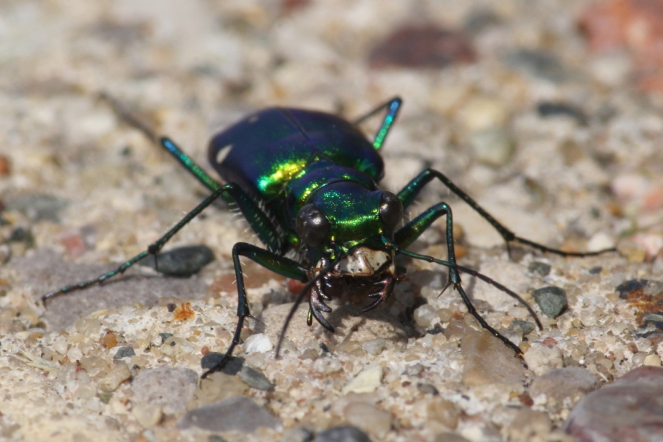 Six spotted tiger beetle eating an ant