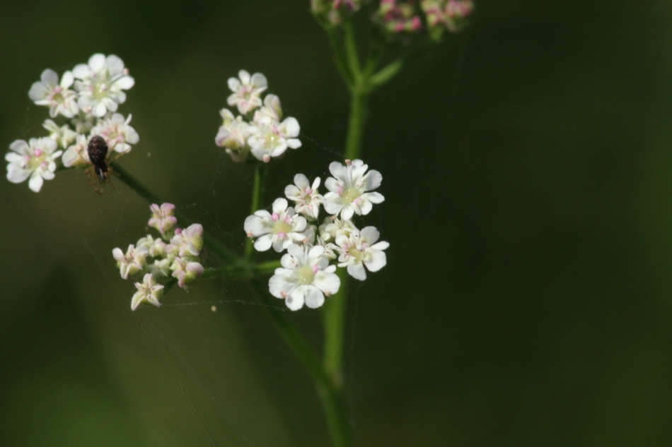 Small white flowers that look similar to Queen Anne's lace