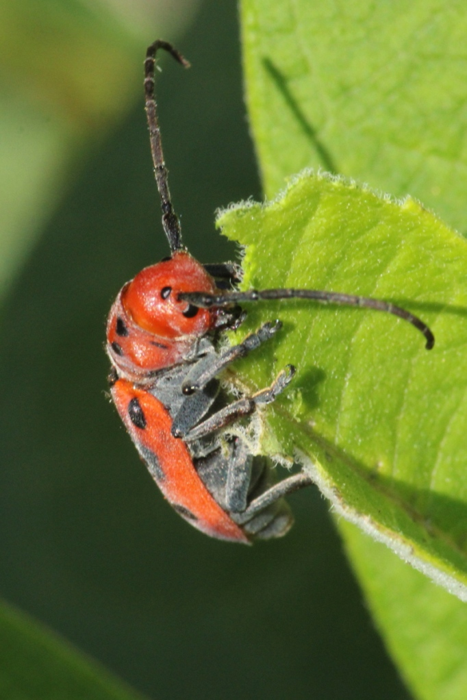 Unidentified red beetle eating milkweed leaves