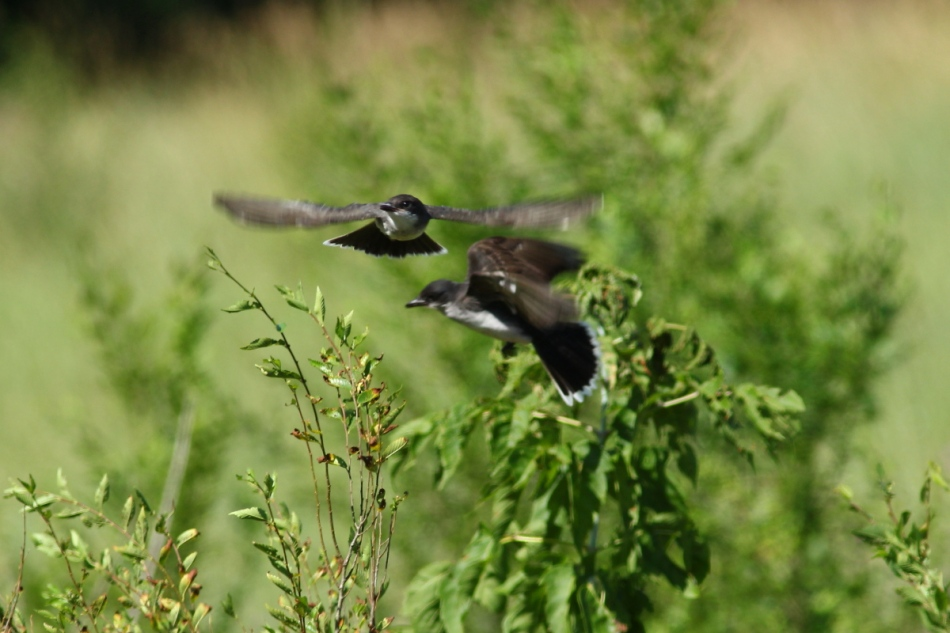 Eastern kingbirds in flight