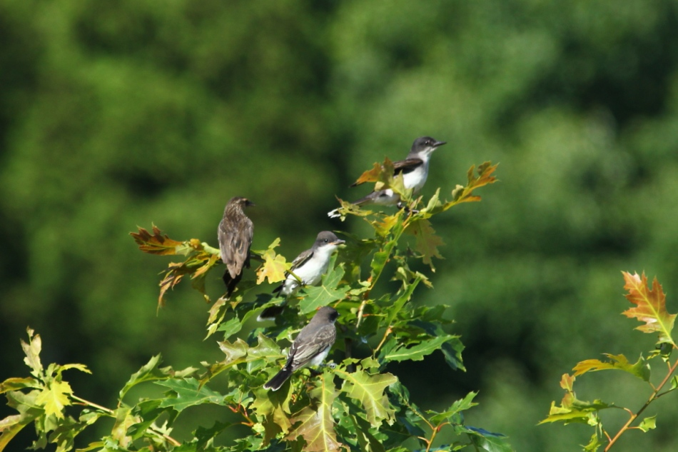 Eastern kingbirds and female red-winged blackbird