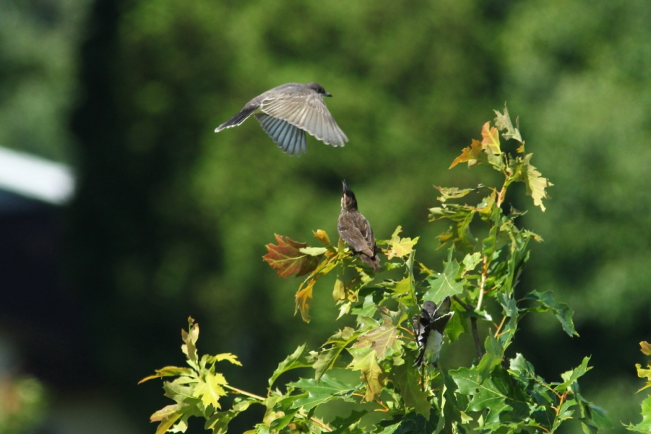 Eastern kingbirds and a female red-winged blackbird