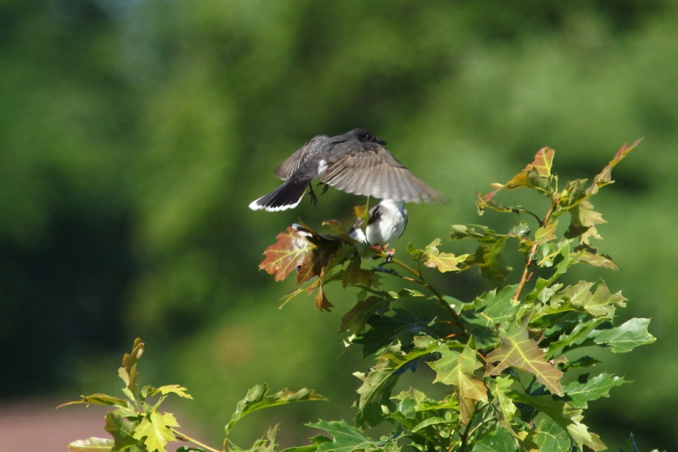 Eastern kingbirds