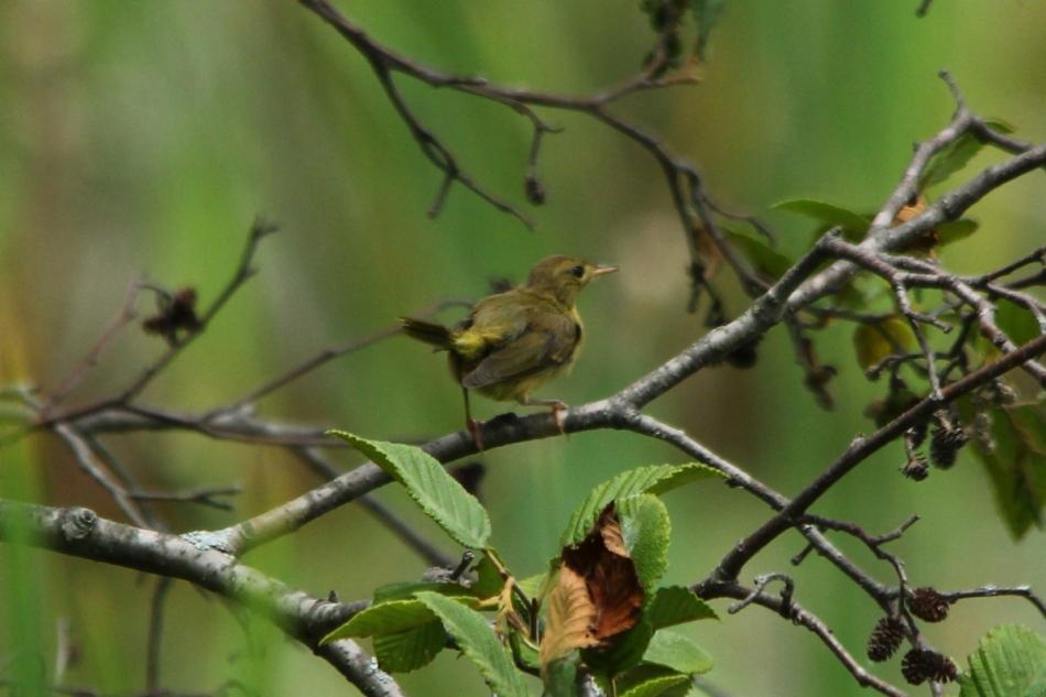 Female common yellowthroat