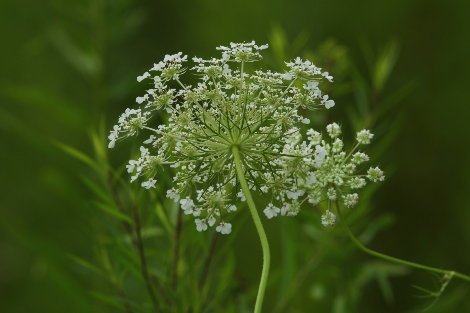 Queen Anne's lace from behind