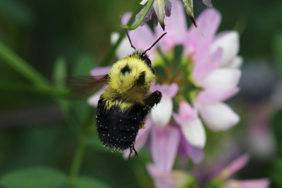 Bee flying near crown vetch