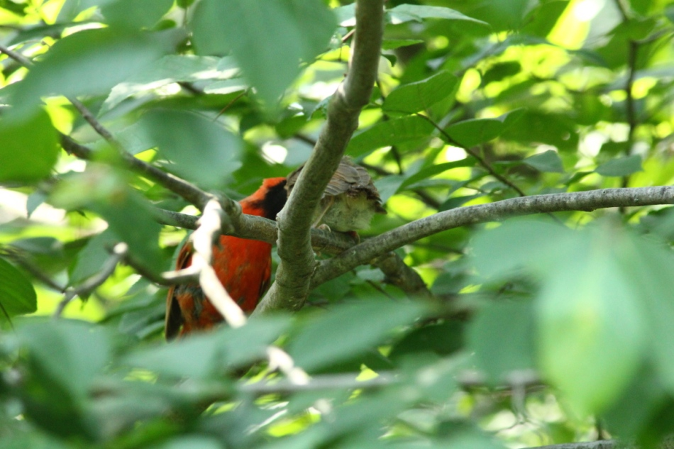 Male northern cardinal feeding its young