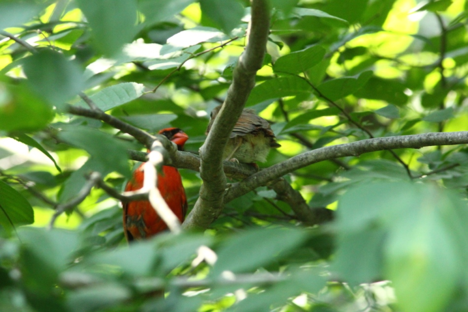 Male northern cardinal and its young