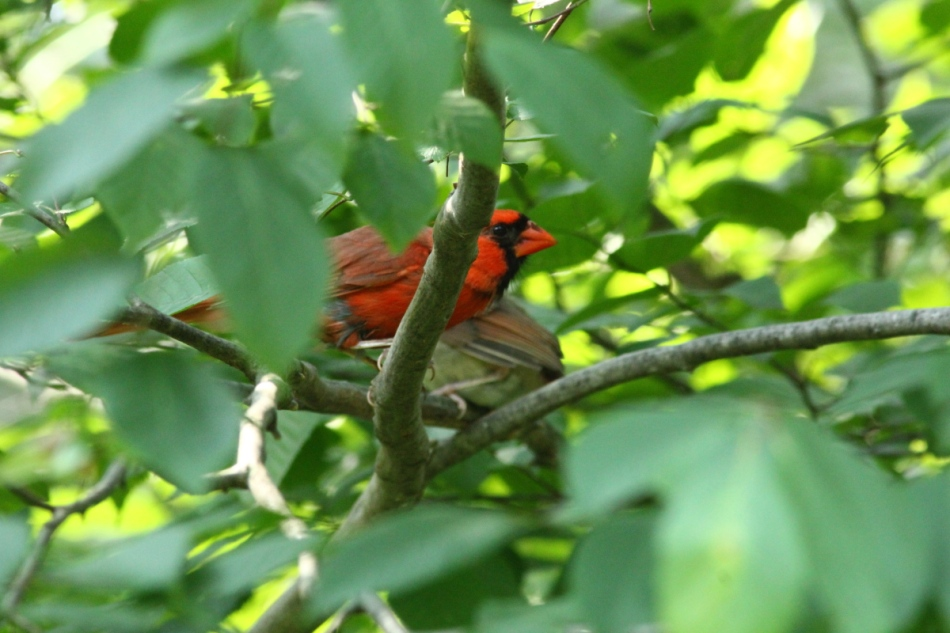Male northern cardinal protecting its young