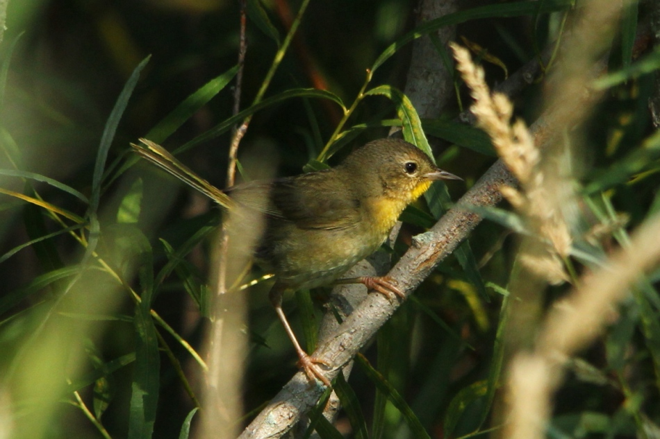 Juvenile common yellowthroat