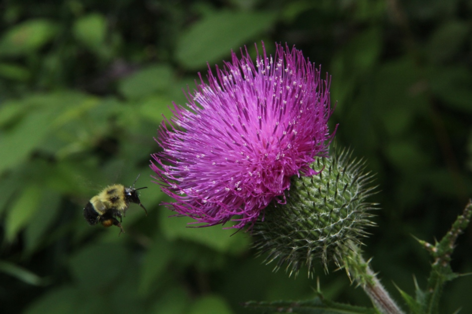 Bull thistle and flying bee