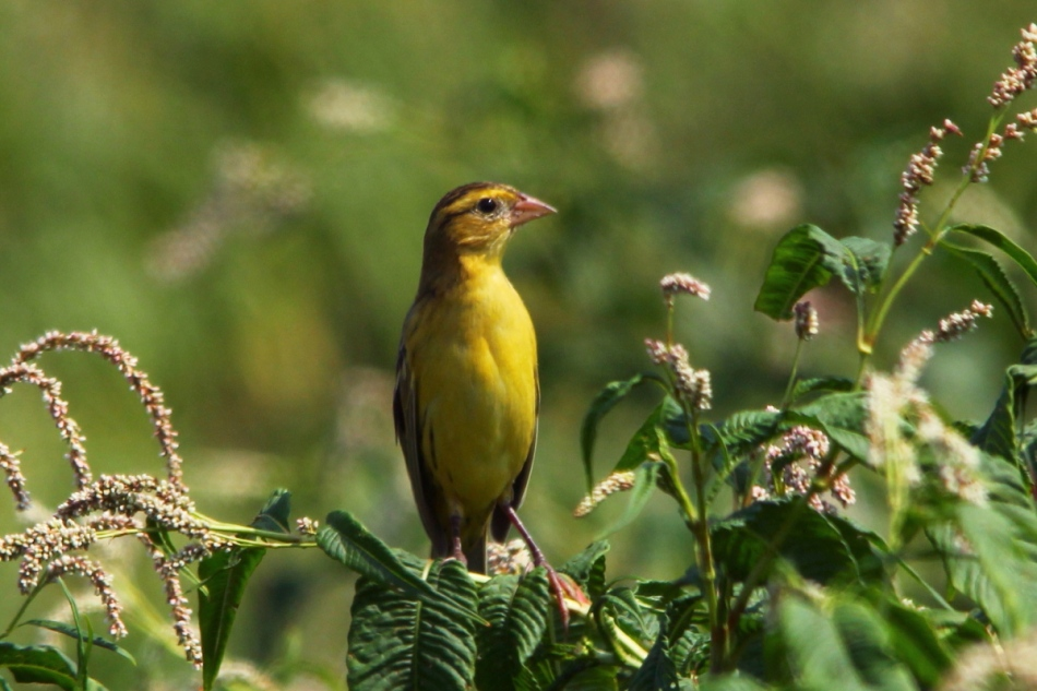 Female or juvenile bobolink