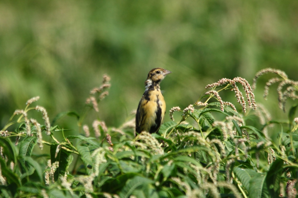 Juvenile male bobolink