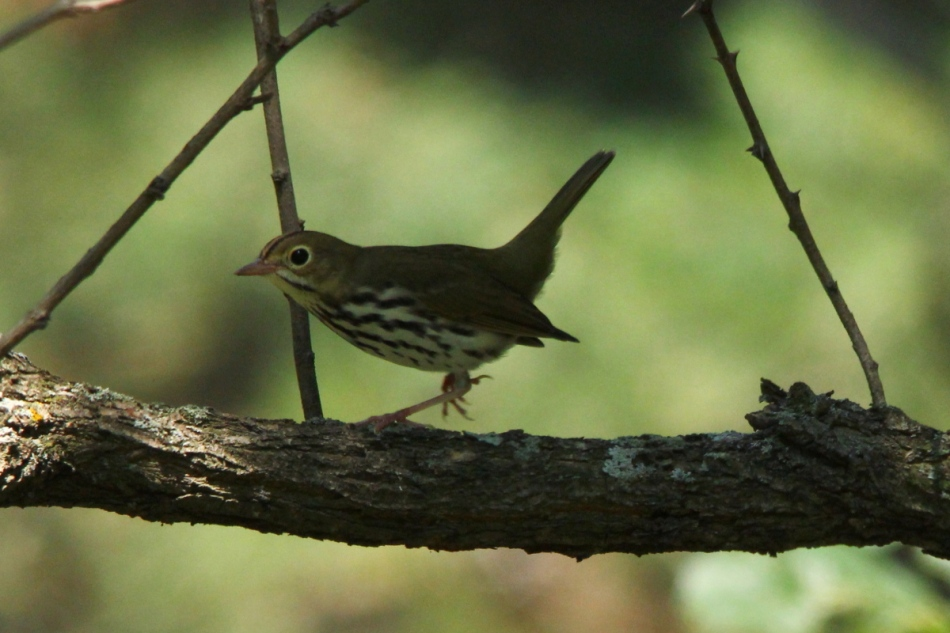 Ovenbird on the run