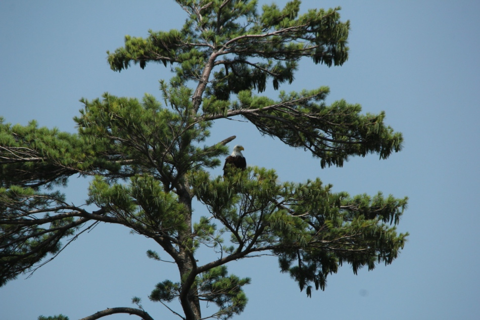 Bald eagle, 500 mm, not cropped