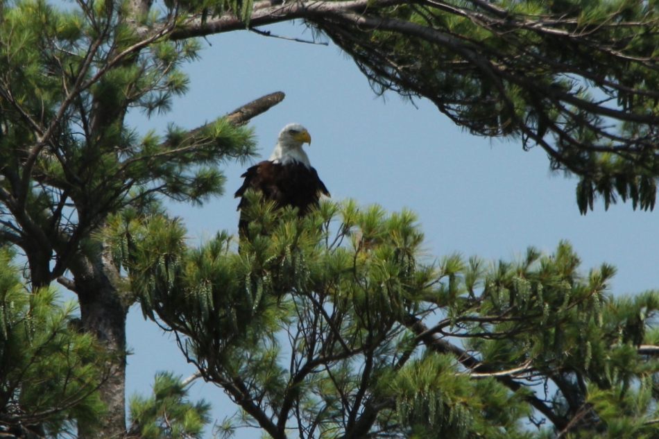 Bald eagle, 500 mm,  cropped