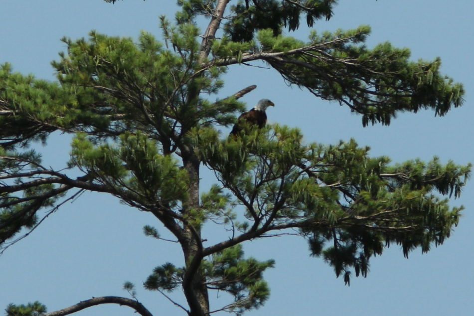 Bald eagle, 210 mm, cropped