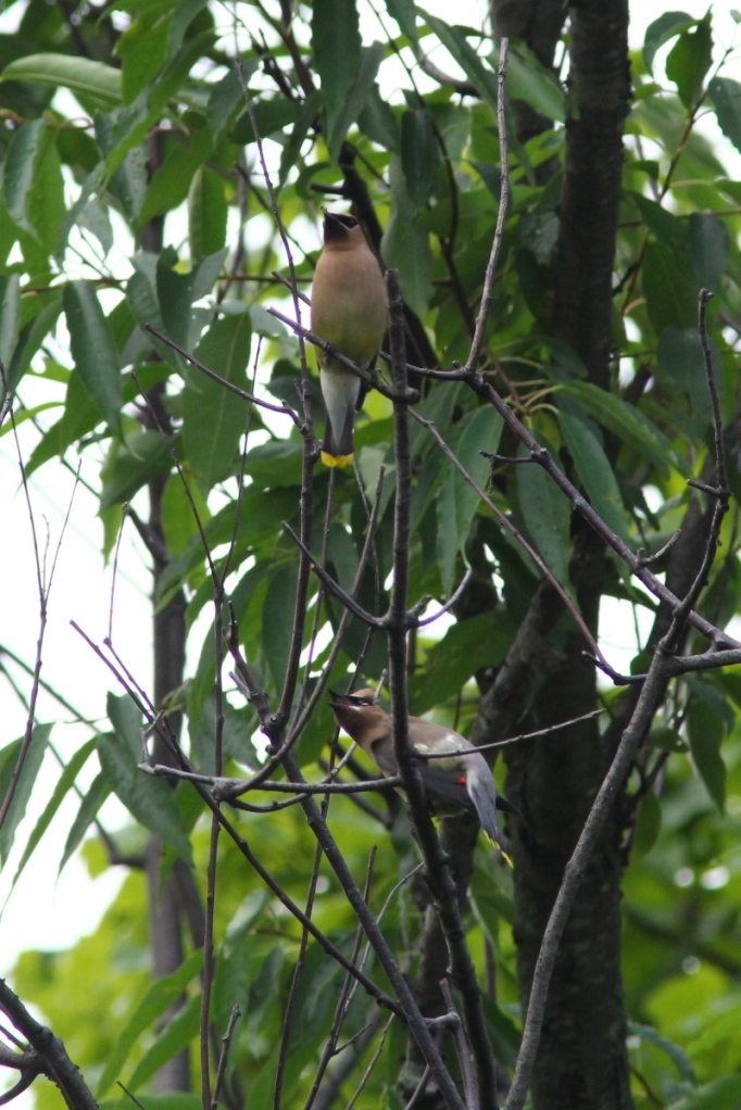 Adult and juvenile cedar waxwing