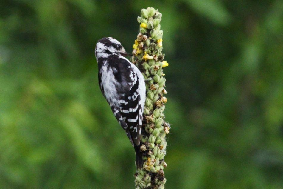 Juvenile downy woodpecker looking for lunch