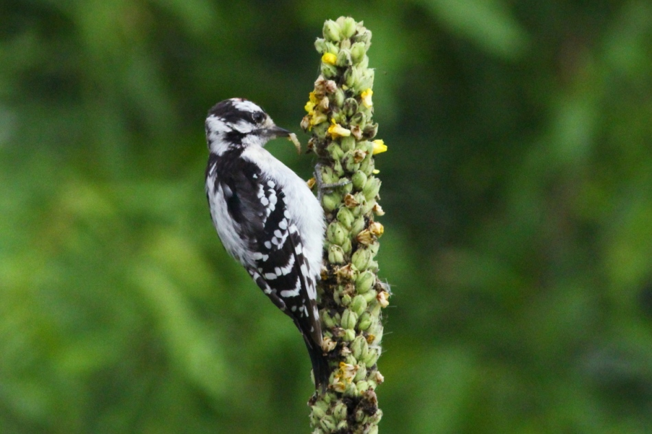 Juvenile downy woodpecker finding lunch
