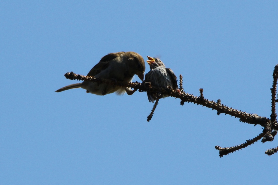 Mother and juvenile English house sparrow